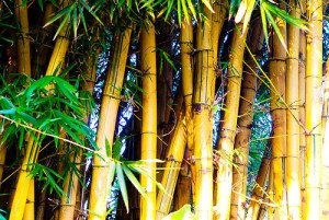 Bamboo turning yellow