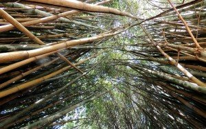 bamboo screening plants