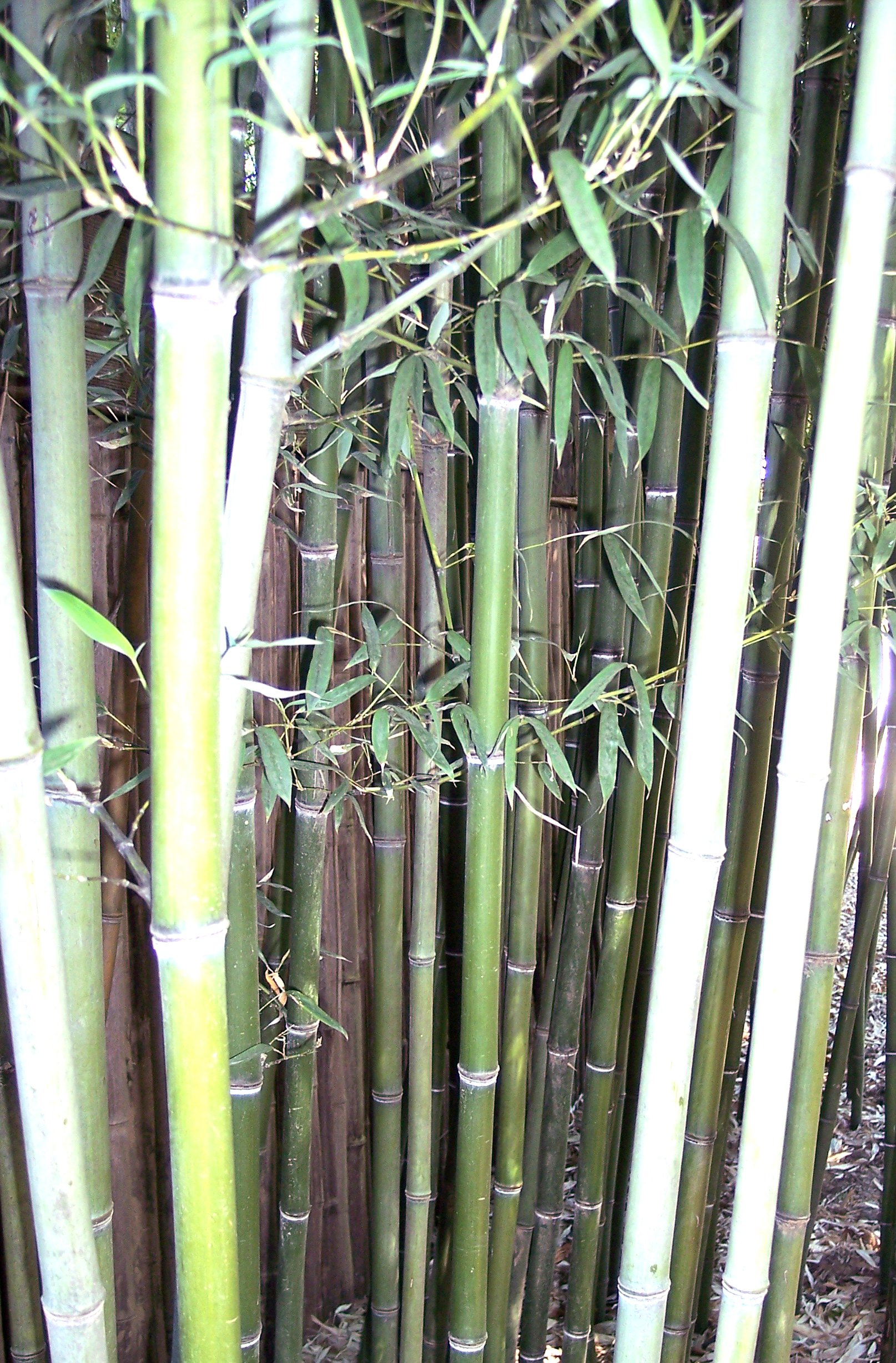 Types of bamboo plants hq