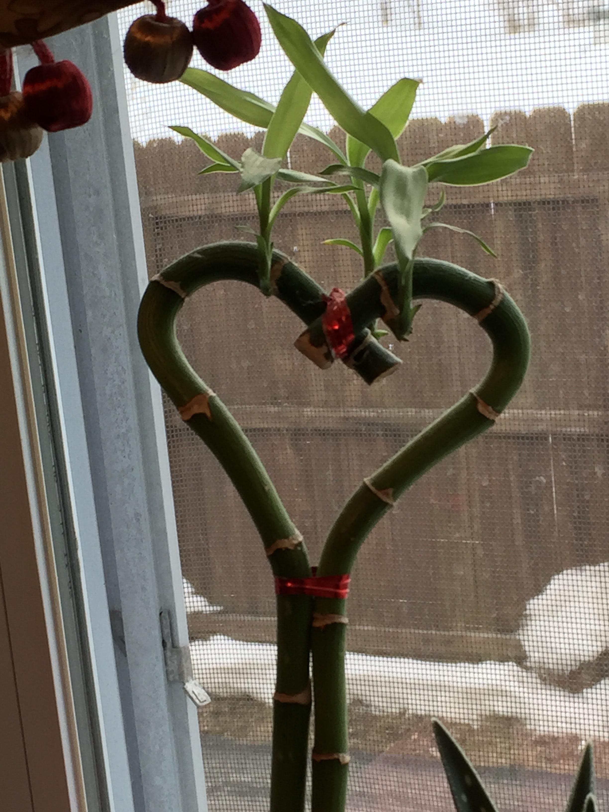 Bamboo Heart Plant
