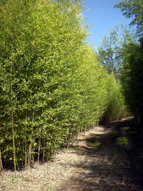 Golden Bamboo Phyllostachys Aurea Bamboo Plants HQ