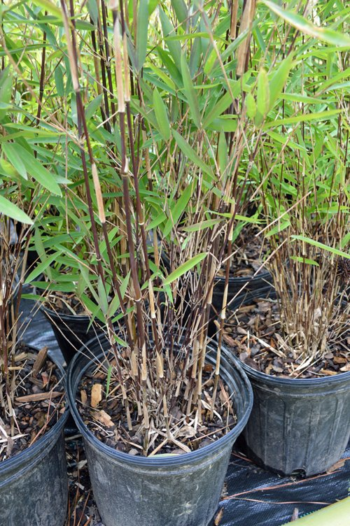 Bamboo Plant Food