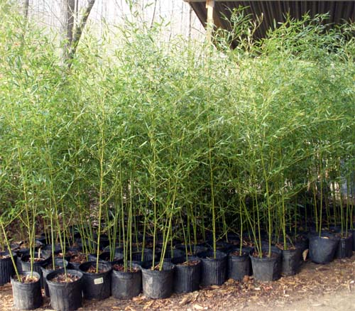 phyllostachys bissetii bamboo plants hq. Black Bedroom Furniture Sets. Home Design Ideas