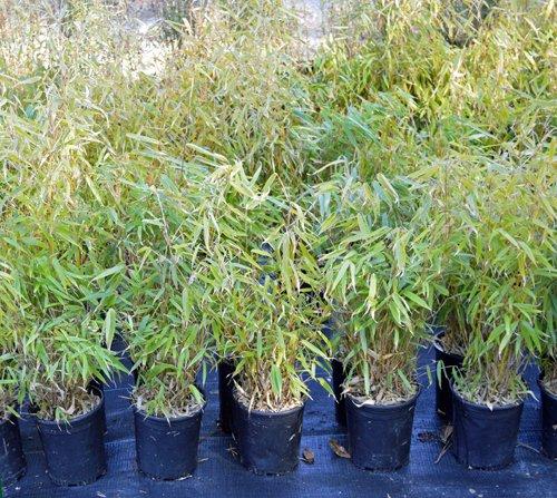 fargesia rufa bamboo plants hq. Black Bedroom Furniture Sets. Home Design Ideas