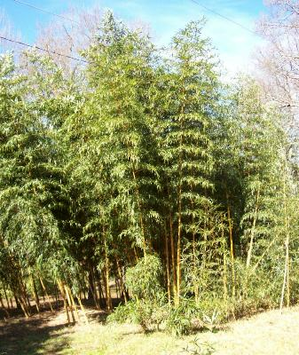 Where to buy bamboo plants