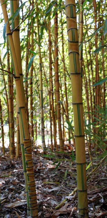 phyllostachys aurea koi bamboo plants hq. Black Bedroom Furniture Sets. Home Design Ideas